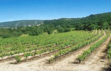 Part of their vineyard